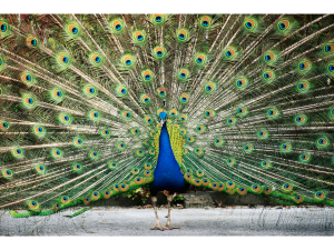 What it is like to be mooned by a peacock
