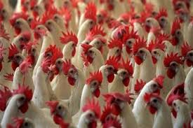 flock-of-chickens