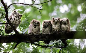 parliament-of-owls