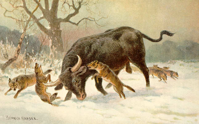 A painting by Heinrich Harder showing an aurochs fighting off a Eurasian wolf pack (from here)